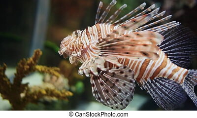 Pterois Volitans Fish. Underwater Aquarium Dubai Mall. -...