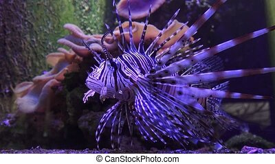 (Pterois volitans) is a fish of the Scorpion family....