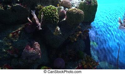 Pterois volitans, lionfish hiding in multicolor corals and...