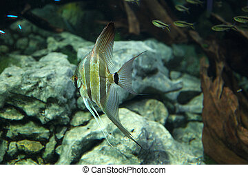 Pterophyllum altum, also referred to as the Altum Angelfish...