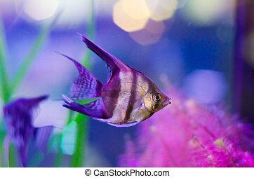 fish in aquarium - pterophyllum scalare fish in aquarium