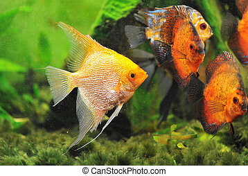 pterophyllum scalare in a tank with symphysodon discus
