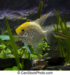 Pterophyllum scalare - Planted freshwater aquarium with a ...