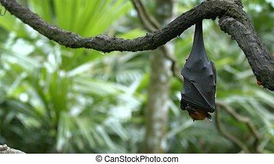 Pteropus (flying fox) on daytime rest upside down. Video UltraHD 4k