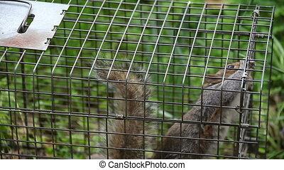 pułapka, wiewiórka