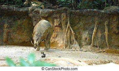 public, populaire, habitat, sien, clôture, ultrahd, vidéo, zoo., babirusa