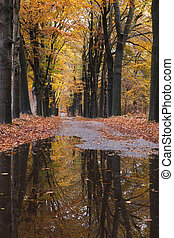 puddles on forest road between yellow leaves of beech trees in the fall