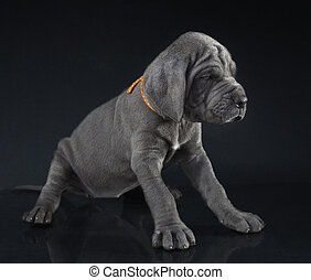 Pudgy puppy - Blue Great Dane puppy that has not been ...