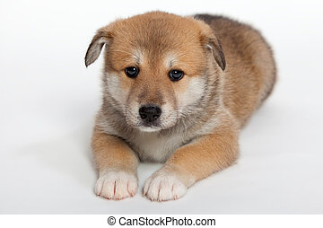 Pudgy puppy - Small, pudgy puppy huskies and husky, a ...