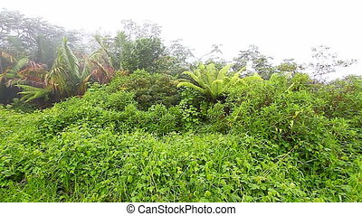 Puerto Rico Foggy Rainforest - Rainforest vegetation amidst...