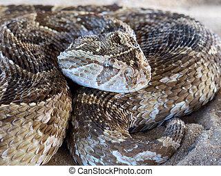 Puff adder - Close-up of a puff adder (Bitis arietans) snake...