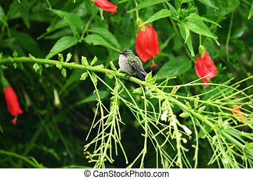Puff Daddy - Hummingbird, Antillean Crested, Orthorhyncus...