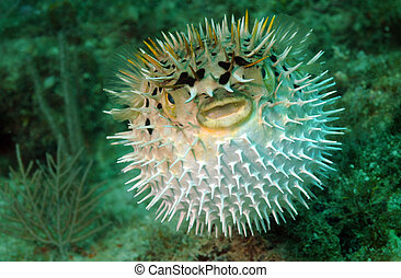 Puffed up blowfish swimming underwater in the ocean - Puffed...