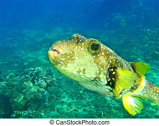 Puffer Fish - a close-up underwater of acurious puffer fish