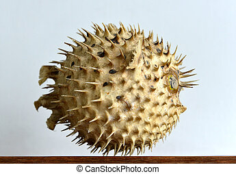 Puffer fish skeleton