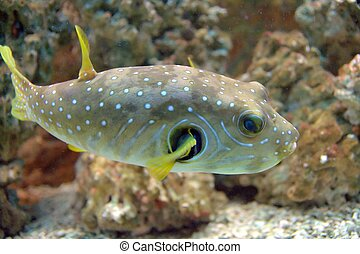 Puffer Fish - The White-Spotted puffer, Arothron Hispidus, a...