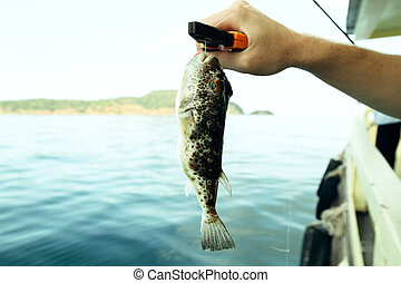 Puffer (Fugu fish) caught while fishing in the Gulf of Thailand.