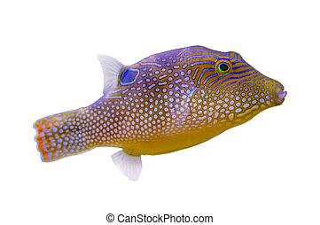 pufferfish, colorido