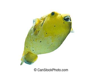 pufferfish, dorado