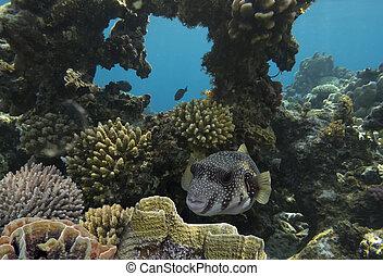 pufferfish, gigante
