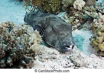 pufferfish