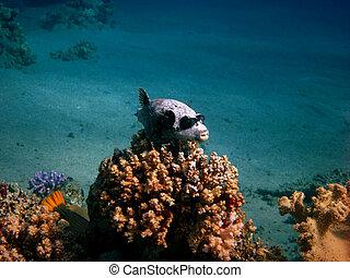 pufferfish, máscara