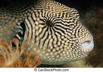 pufferfish, mapa