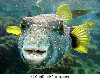 pufferfish, mirar, primer plano, extraño, hawai