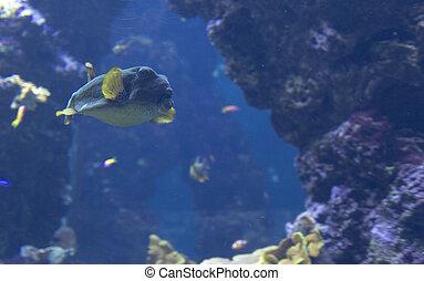 pufferfish, natación