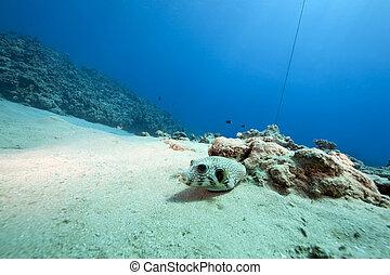 pufferfish, océano