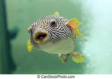 pufferfish, reticulated