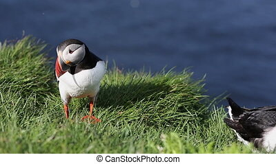 Puffin at Latrabjarg
