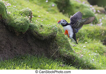 Puffin bringing fish to a nest on Shetland Island for its chicks
