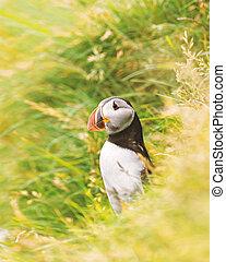 puffin, faroese, ptáček, -, slavný