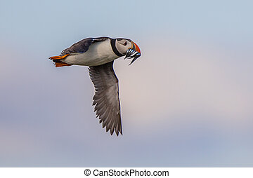 Puffin flying fish