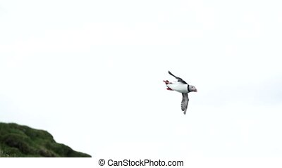 Puffin flying looking for the nest in super slow motion - ...