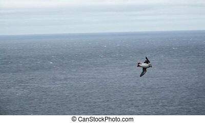 Puffin flying near the hillside looking for the nest in slow...