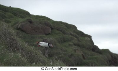 Puffin gliding in super slow motion, profile view - Puffin ...