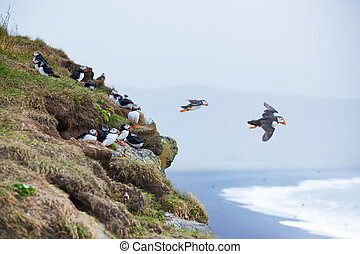 Puffin on a grassy cliff, sea as background, Iceland