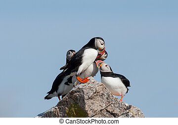 puffin king of hill
