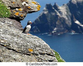 puffin on cliff face - skellig island puffin , ring of...