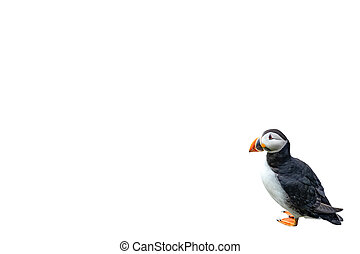 Puffin on white background with text space