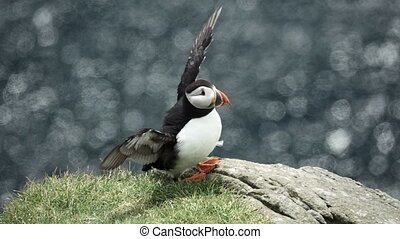 Puffin over the cliff shaking wings in slow-mo - Isolated ...