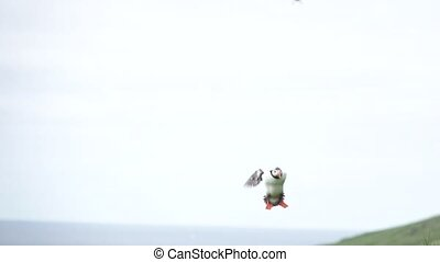 Puffin landing to nest in super slow motion against clear white sky