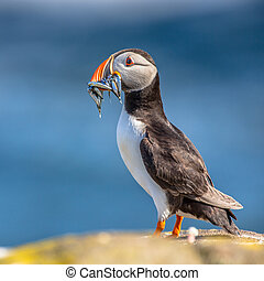 Puffin with fish in beak