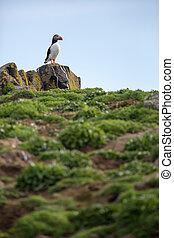 Puffins (Fratercula arctica), Isle of May, Scotland