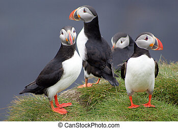 puffins in Iceland - puffins on a cliff in iceland