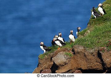 puffins, latrabjarg, island, skalní stěna