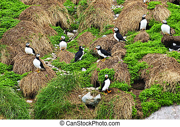 Puffins nesting in Newfoundland - Puffin birds nesting on...