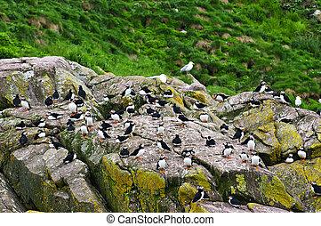puffins, newfoundland, rotsen